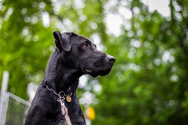 Acheter un dogue allemand